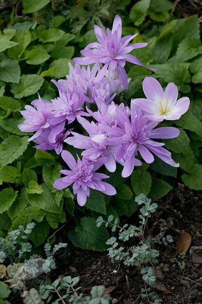 Autumn Crocus Colchicum 39 Waterlily 39 Super Easy To Grow