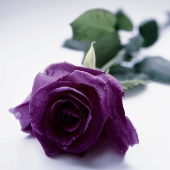A Perfect Purple Rose Timeless Via Purple Roses Beautiful Flowers Images Rose