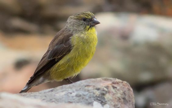 8753. Cape Siskin (Serinus totta) | southern Cape Province of South Africa