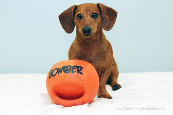 Hagen Pet Products Review & Giveaway // Ammo the Dachshund