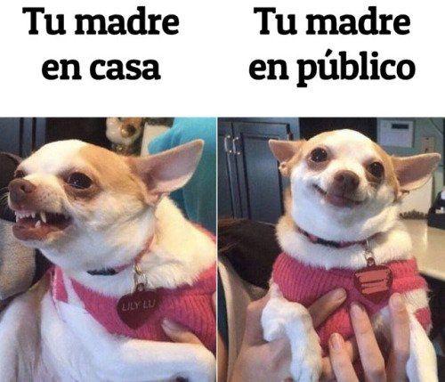 #FelizMiercoles #dogsoftwitter #meme Morimos con este #chihuahua #bipolar #perro #perros