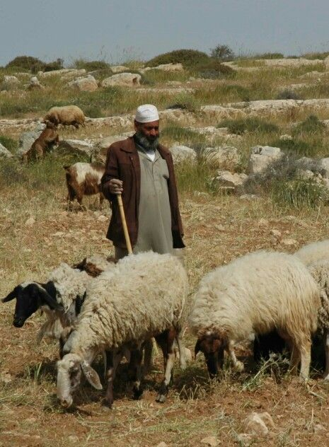 Middle East sheep