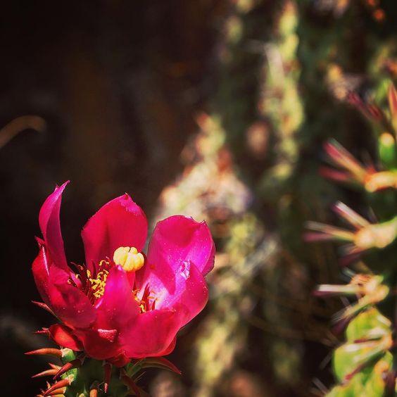 Cactus flower #succulent #cactus #plant #garden #gardening #grow #nature #naturelover #outdoors