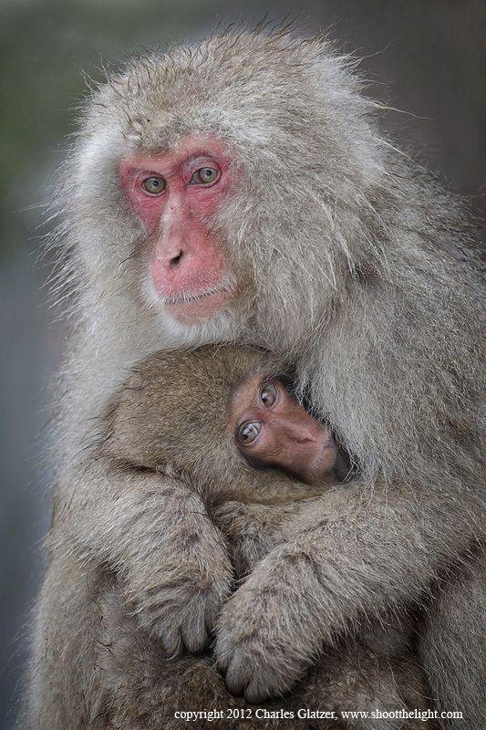 """""""Snow monkey nursing baby"""" by Charles Glatzer on 500px.com"""