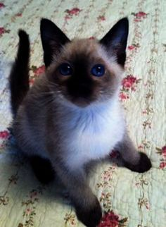 Cats And Kittens For Sale Essex Cats And Kittens On Pinterest Siamese Kittens Kittens Siamese Cats