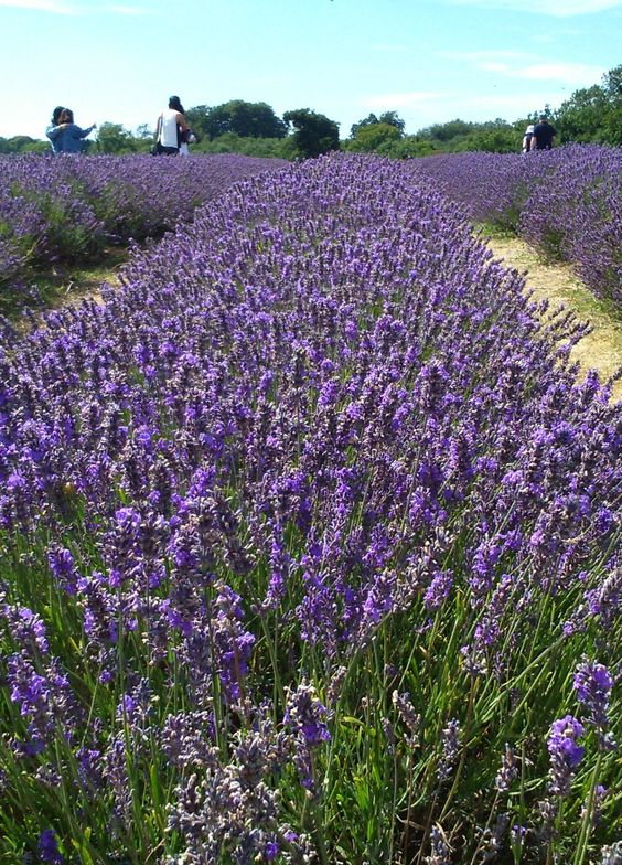 The beautiful Mayfield Lavender Farm in Surrey England where you can relax and unwind amidst fragrant fields.  Find out how to visit: http://office-breaks.com/a-soothing-afternoon-at-mayfield-lavender-farm/