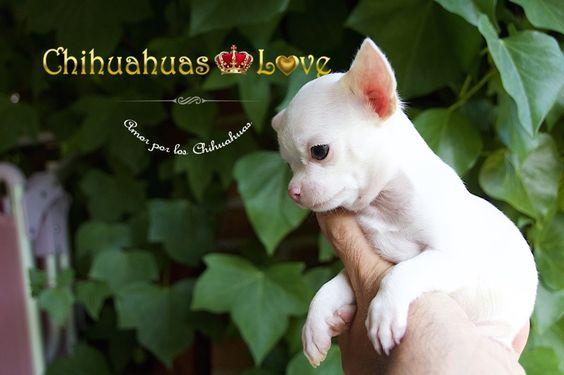 cachorros chihuahua blancos