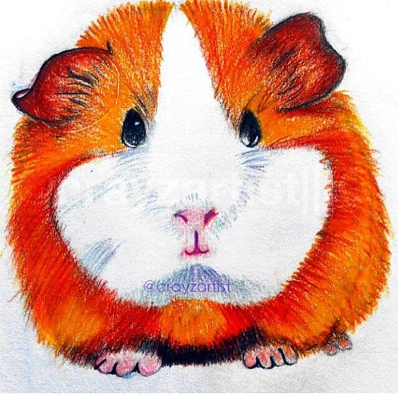 how to draw a cute guinea pig