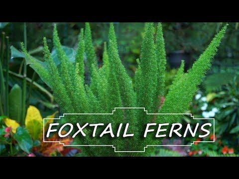 Foxtail Fern Care Asparagus Densiflorus Myersii Fern Friday Youtube Foxtail Fern Ferns Care Asparagus Fern