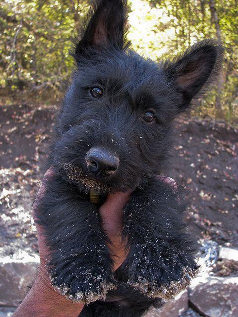awwww...just like my Maxie when he was little!: Scottish Terriers Puppy, Scottie Dogs, Scotty Dog Puppy, Baby Jake, Scottie Puppie, Scotties Dog, Awwww Scottish, Scottie Puppy, Baby Animals