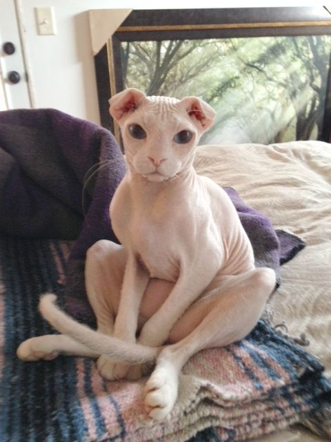 Ophelia Ukrainian Levkoy Hairless Cat Ideas Of Hairless Cat Hairlesscat Ophelia Ukrainian Levkoy The Post Ophelia Cute Cats Cute Animals Rare Cats