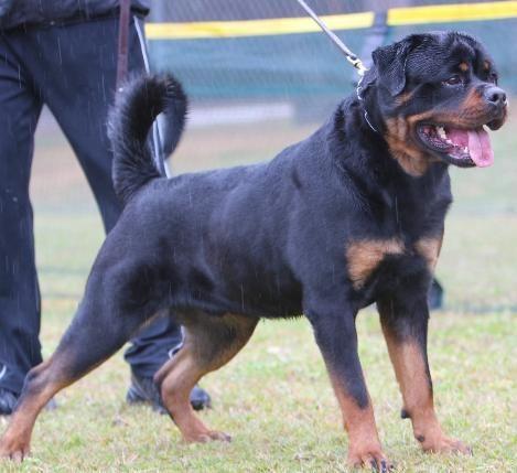 German Rottweiler Puppies For Sale Rottweiler Dog Rottweilers