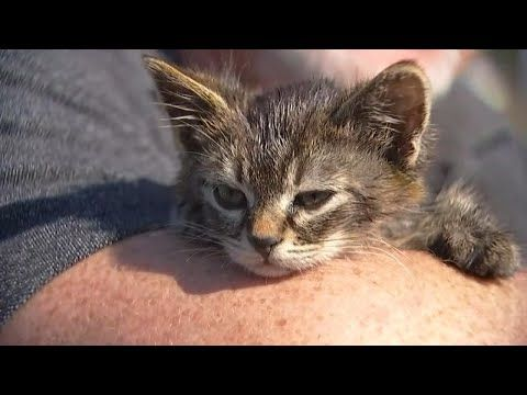 5 Week Old Kitten Named Sticky Found Glued To Busy Oregon Road Tabby Cat