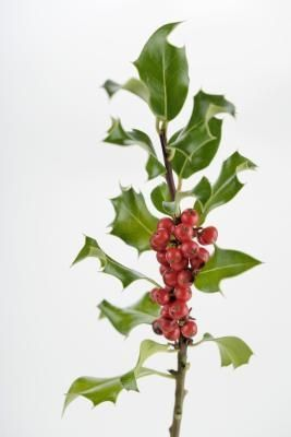how to grow holly from cuttings