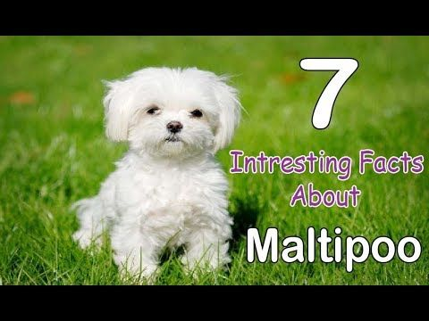 Maltipoo Characteristics Appearance And Pictures Maltipoo