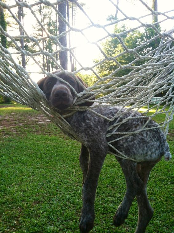 German Shorthaired Pointer having a little difficulty with a hammock.:
