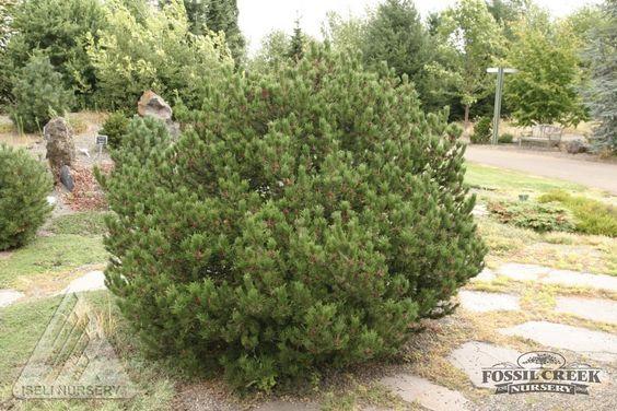 'Spaan's Dwarf' Lodgepole Pine (Pinus contorta 'Spaan's Dwarf'