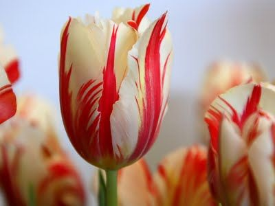 I have ONE of these tulips, it didn't bloom this year, last year it was amazing to watch.