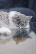 Chaton mignon british longhair bleu et blanc                                                                                                                                                                                 Plus
