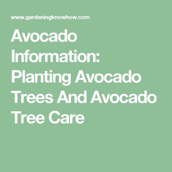 Avocado Information: Planting Avocado Trees And Avocado Tree Care