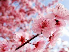 Gambar Wallpaper Bunga Sakura Jepang
