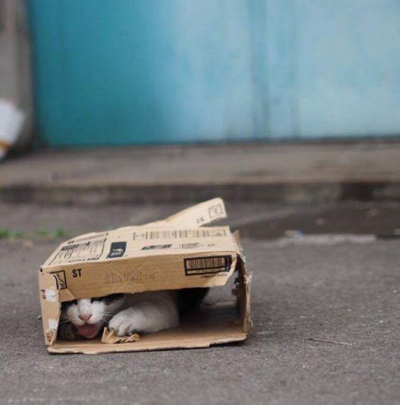 ダンボールの中に隠れる野良猫)