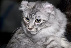 www.petclic.es la mayor tienda online de productos para #mascotas. La mayor biblioteca de contenido y consejos sobre mascotas. 1.000 consejos. 50.000 imágenes. Foto del #gato american curl