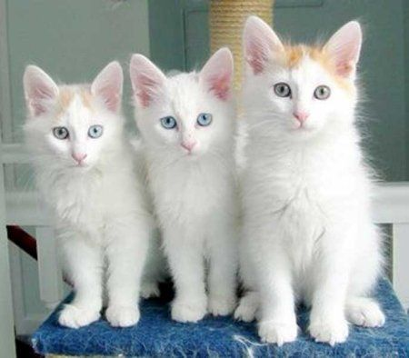 The Turkish Van cat. Breed originating from Lake Van, Turkey. You guessed it, they SWIM!... for fun!