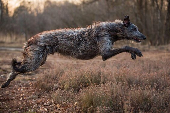 Irish Wolfhound. Mine can cover a field in a few leaps!!! Fast, kind, sensitive…