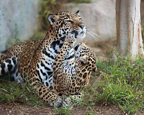 Jaguar Kisses | Flickr - Photo Sharing!