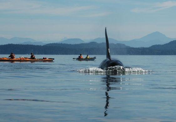 Bull orca on Johnstone Straight, Vancouver Island, British Columbia, Canada.  Breathtaking!