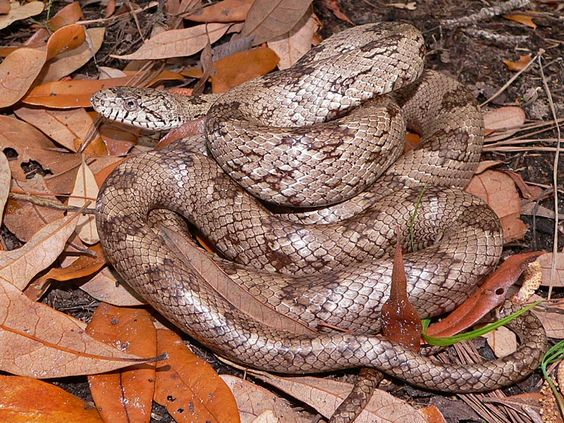 Oak Snake Search Pictures Photos Snake Beautiful Snakes Photo