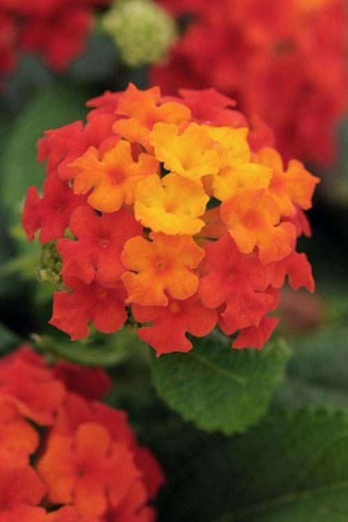 Flowers Plants That Attract Birds Butterflies Roger S Gardens Lantana Lantana Plant Perennial Plants