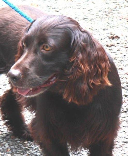 Boykin Spaniel Dog For Adoption In Marble North Carolina Buddy In Marble North Carolina Dog Adoption Rescue Dogs For Adoption Boykin Spaniel