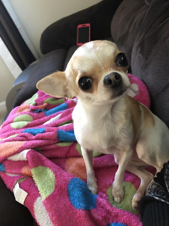 19 Things All Chihuahua Owners Must Never Forget The Paws Cute