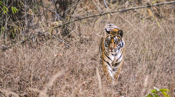 Spot tigers in Ranthambore National Park, India