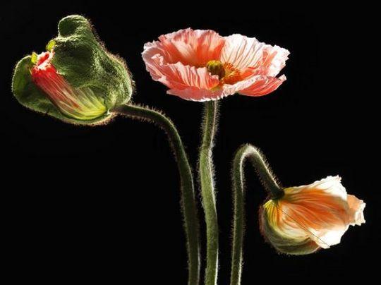 Islandmohn Mohnblumen Island Mohn Papaver Nudicaule Knospen Und Flowers Orchids Papaver