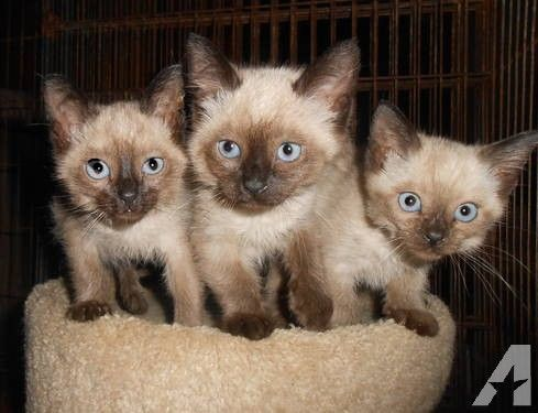 Seal Point Siamese Kittens In 2020 Kittens Siamese Kittens Cats And Kittens