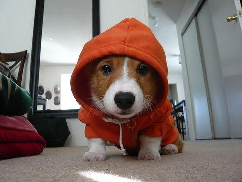 Hoodie + Corgi is cute! #corgi #cute #dog #hoodie