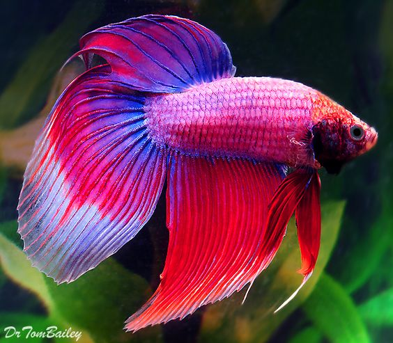 Bettas have upturned mouths and are primarily carnivorous for Betta fish feeder