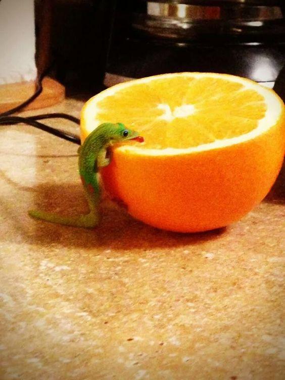 Un petit lézard lèche une orange