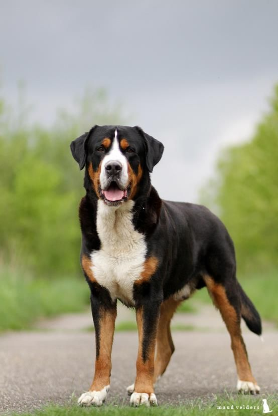 Just like his Bernese Mountain Dog cousin, the Greater Swiss Mountain Dog is a gentle giant that makes a great family companion. Weighing in around 100-155lbs., this breed gets his size from his original purpose as an all-duty farm dog.