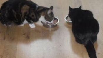 Fatto in casa cibo per gatti 2