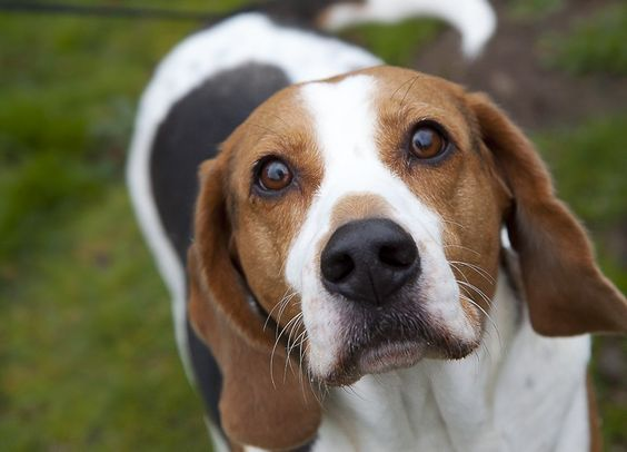 100 Best English Foxhound Dog Names The Fox And The Hound Foxhound Dog English Foxhound