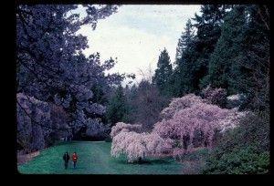 http://depts.washington.edu/uwbg/news/2011/03/25/cherry-blossom-season-is-here/
