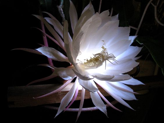 My Night Blooming Cereus bloomed for the first time tonight!!  I grew it from a cutting someone gave me a few years ago....Its perfume is filling the whole house....and it will be done in the morning.