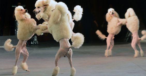 25/jan/2013 - UKRANE - Cães apresentam novo número em um show do Circo Nacional, em Kiev, na noite desta quinta-feira (24). Foto: Sergei.