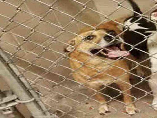 Texas City Tx Black Mouth Cur Meet Bella A Dog For Adoption Dog Adoption Kitten Adoption Pets