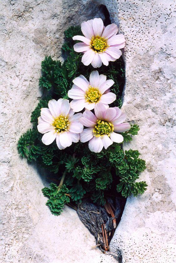 CALLIANTHEMUM KERNERANUM (Calliantemo di Kerner. Kerners Schumuckblume. Callianthème de Kerner). Ranunculaceae