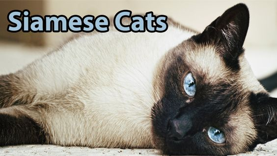 Ideal Companion: Siamese